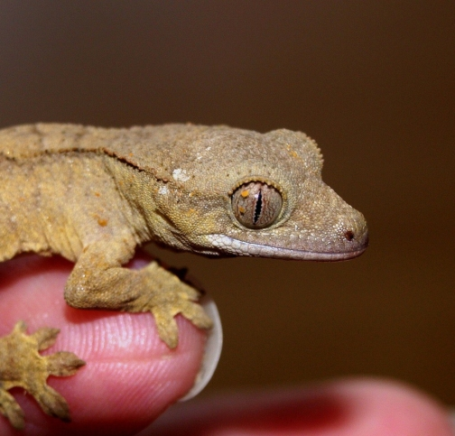 crown-gecko-1302347_1920
